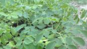 ขายต้นกล้าผักมะค้อนก้อมและต้นกล้าผักแซงดา