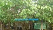 จำหน่ายต้นไม้ ไม้ดอกไม้ประดับ บุนนาค กันเกรา ลีลาวดี บัวสวรรค์ ฟอกเทล ฯลฯ